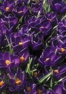 NEGRO BOY, 1910  - Its name may be a troubling anachronism, but this old crocus is too special to let go extinct. It's the world's deepest, darkest crocus, with midnight purple petals set off by a heart of gold and a tiny edging of silver. All but lost, it was preserved by one far-sighted collector in Latvia. C. vernus, zones 4a-7b(8bWC), from Holland