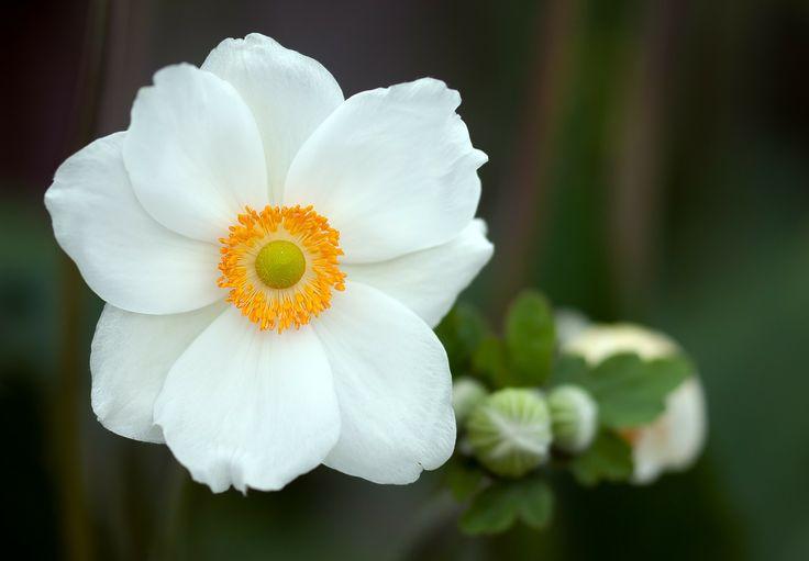 Anêmona De Verão, Anêmona Sylvestris, Flor, Verão