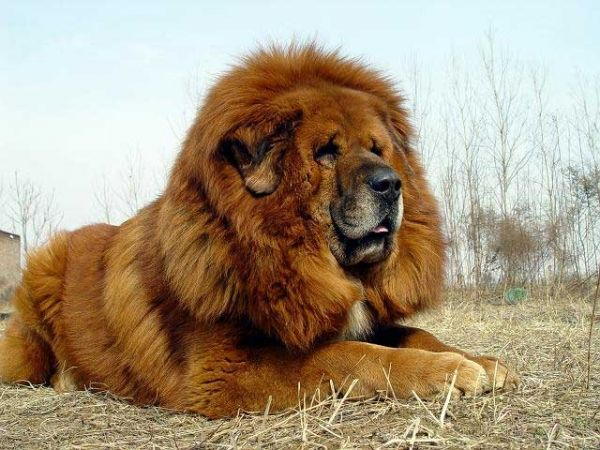 Уникальные породы собак Тибетский мастиф