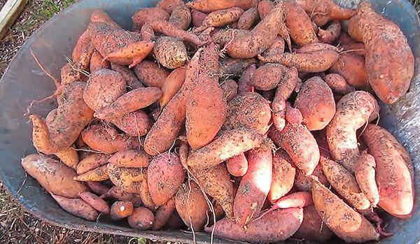 Jednoduchý návod ako vypestovať sladké zemiaky. Sladké zemiaky síce môžu byť drahé, no existuje spôsob ako nimi zaplniť celú záhradu a neminúť pritom via...