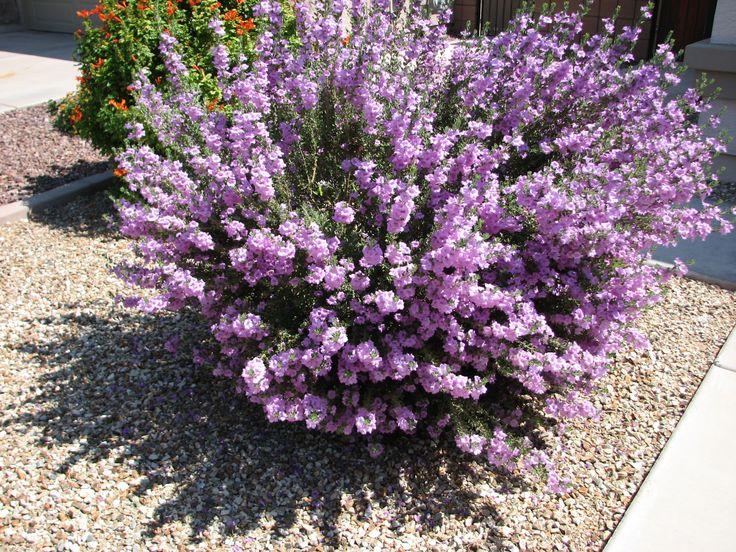 beautiful desert texas sage flowers pinterest deserts beautiful