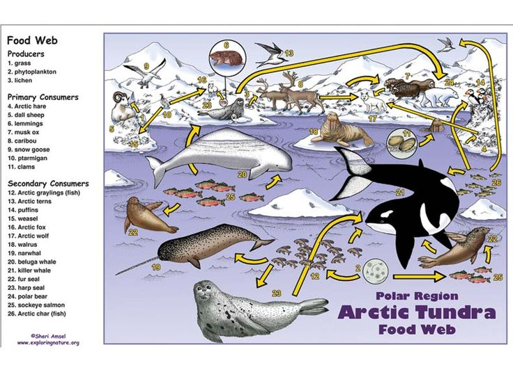food chain project Every food chain must start with a producer, or autotroph, an organism that makes its own energy through a process called photosynthesis during photosynthesis, energy from the sun is used to turn carbon dioxide and water into.