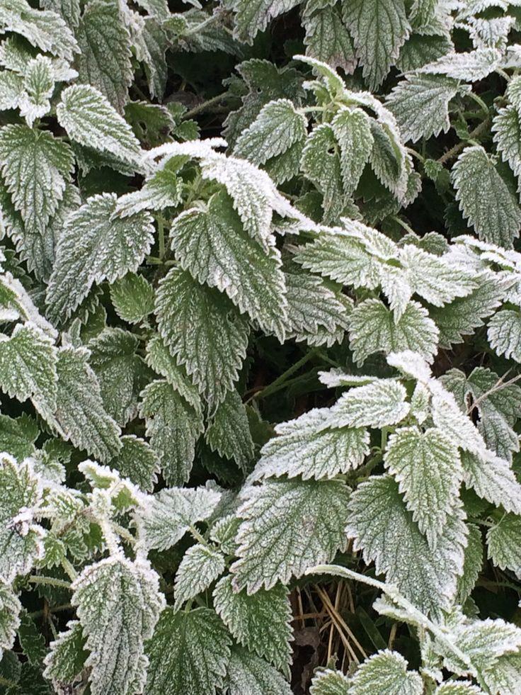 Nettles in frost