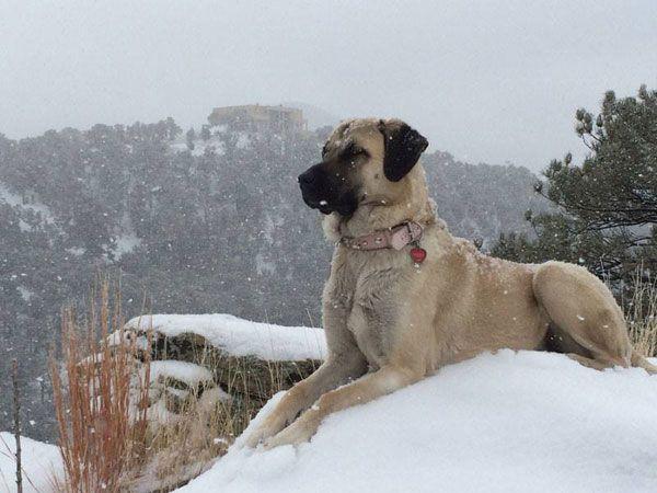 Anatolian Shepherd Dog 06