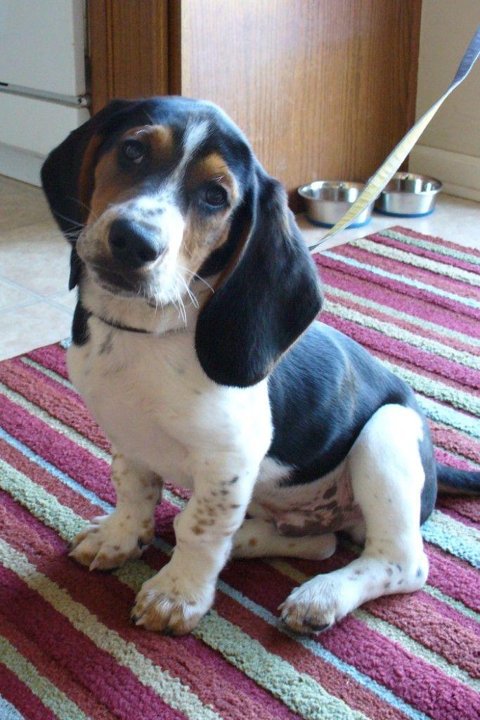 Bagle Hound ( Basset Hound Beagle Mix) Info, Facts, Temperament, Training, Puppies, Pictures