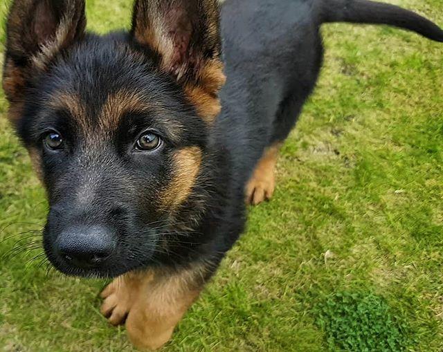 Look At This Cutie Tyson Gsd Pup Germanshepherd Germanshepherds