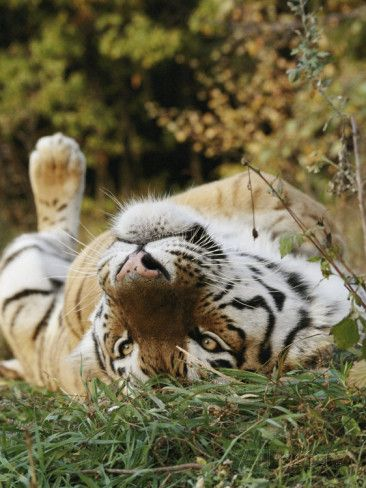 An Adult Siberian Tiger Lounges on His Back 写真プリント