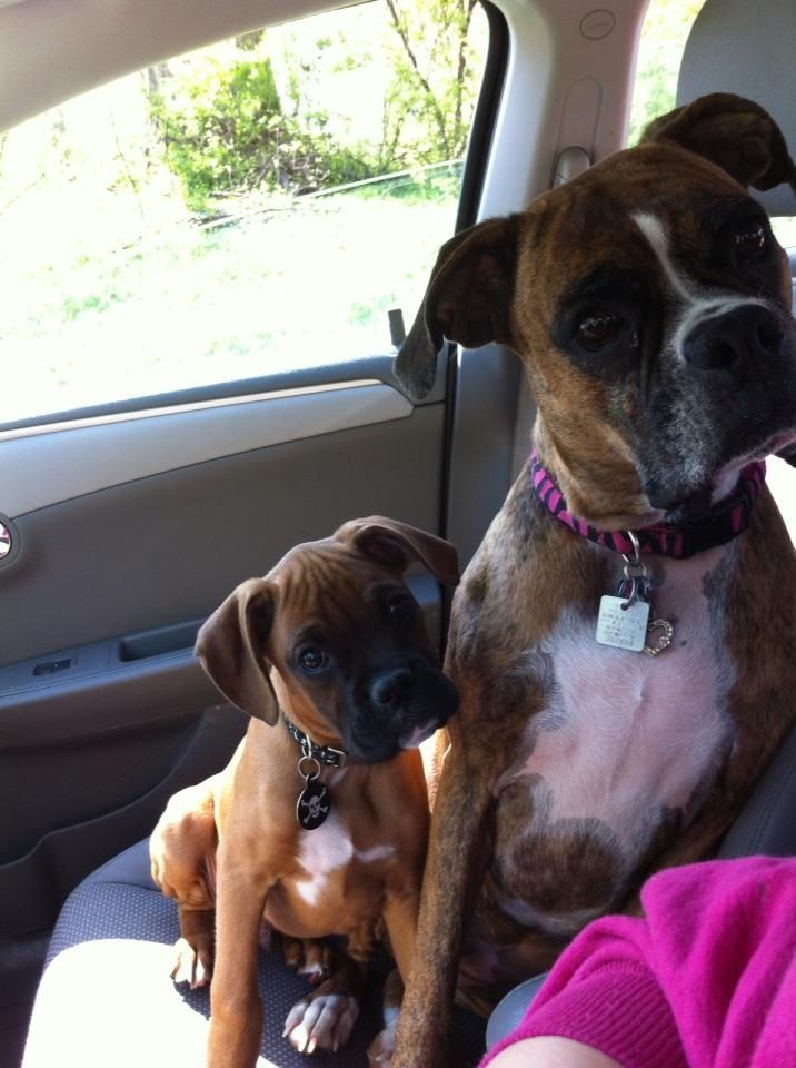 boxer and puppy. Love how they both have their heads cocked the same way