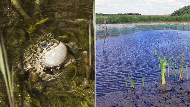 Den grönfläckiga paddan är ett av våra mest sällsynta groddjur. På Örby ängar utanför Helsingborg startade man för fem år sen ett projekt för att återetablera paddan och för två år sen började man se resultat.