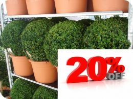 Buy Box Ball Shape Hedges, Box Ball Shape Hedging Plants for Sale - 60-70CM RB*