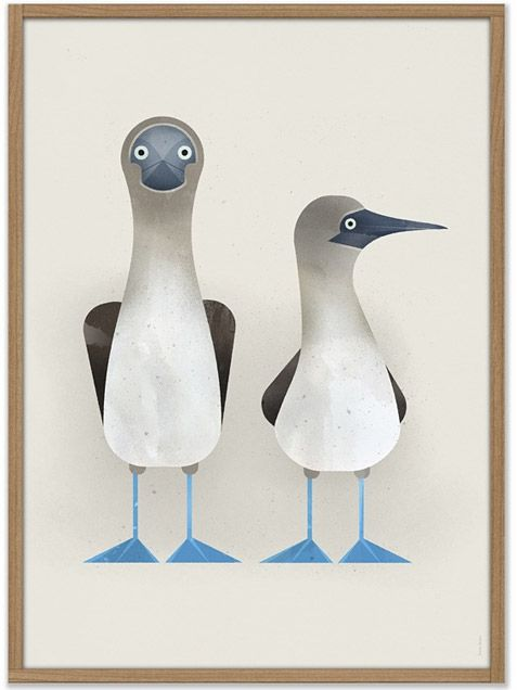 Dieter Braun Blue-footed Boobies Poster More