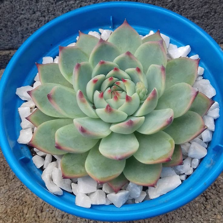 Echeveria Pulvinata Frosty White Chenille Plant Live Succulent Plant Miniature Fairy Garden Exotic Succulent Rare Plant Echeveria Pulvinata