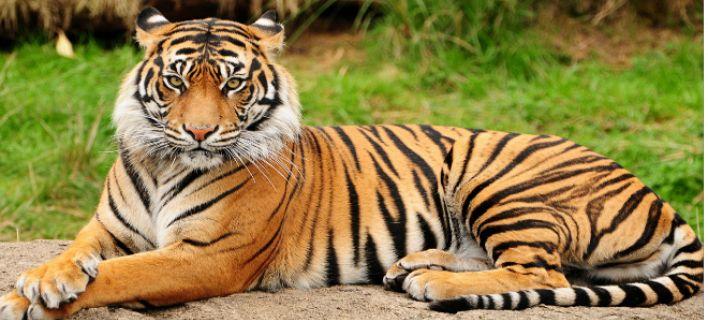 Δύο τίγρεις δραπέτευσαν από καταφύγιο