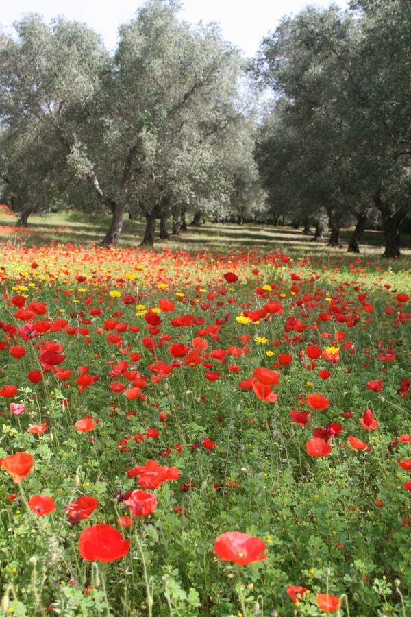 Splendidi ulivi del Salento... province of Lecce Puglia region Italy