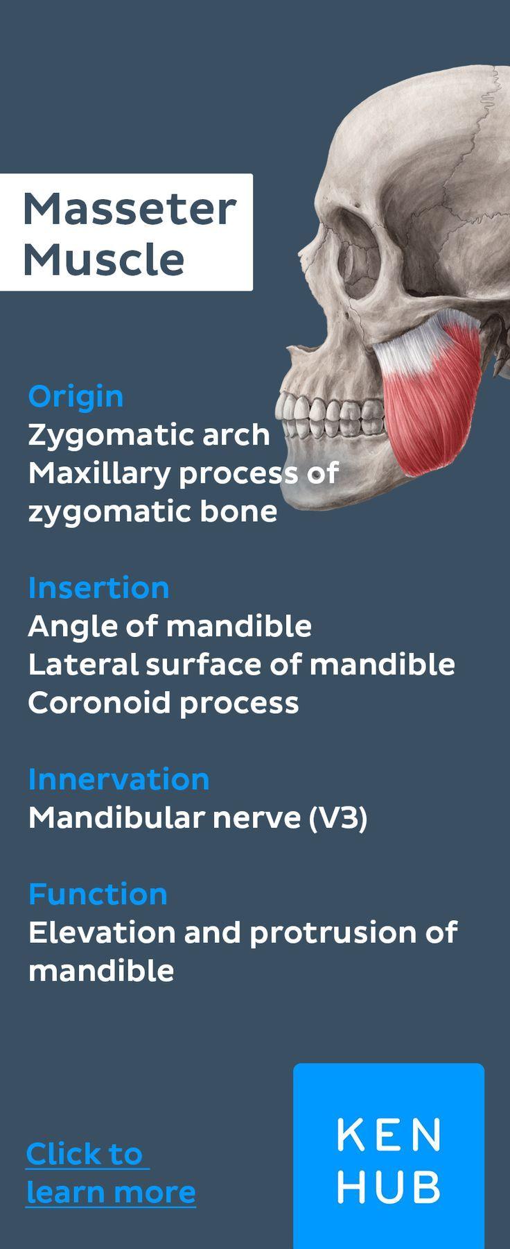 Masseter Muscle Anatomy Muscle Anatomy Muscle Anatomy