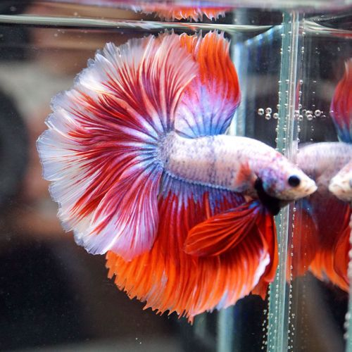 1419 best underwater betta images on pinterest for Best place to buy betta fish online