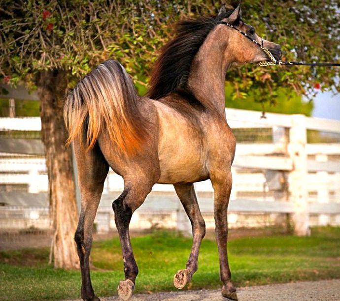 Arabian mare, Sheikha Sara SMF. photo: Jennifer Ogden.
