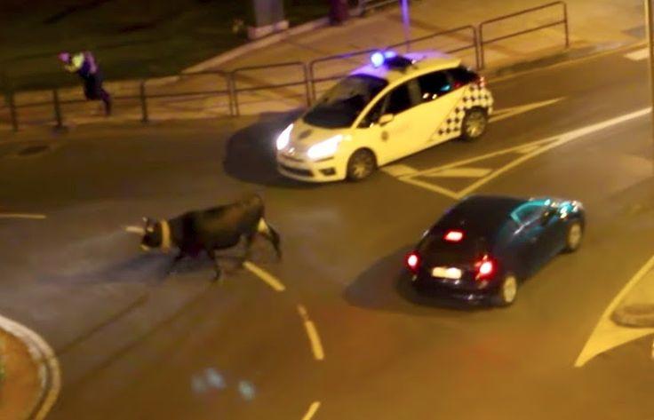 El Ayuntamiento abre expediente sancionador al dueño de la vaca que se escapó por Cruces