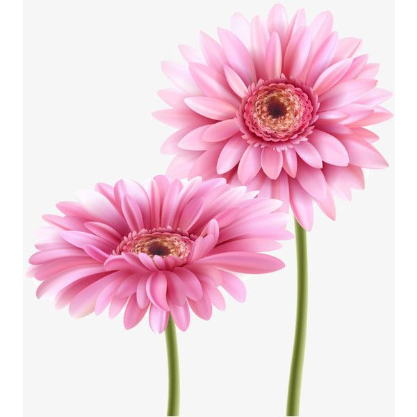 Pin By Marina On Polyvore Gerbera Flower Gerbera Pink Flowers Wallpaper