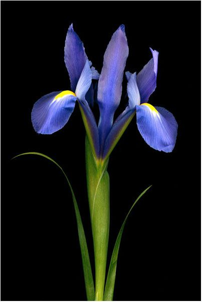 Ayame ( Japanese Iris) One of my favourite flowers