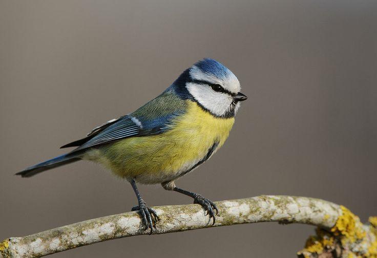 fågl.