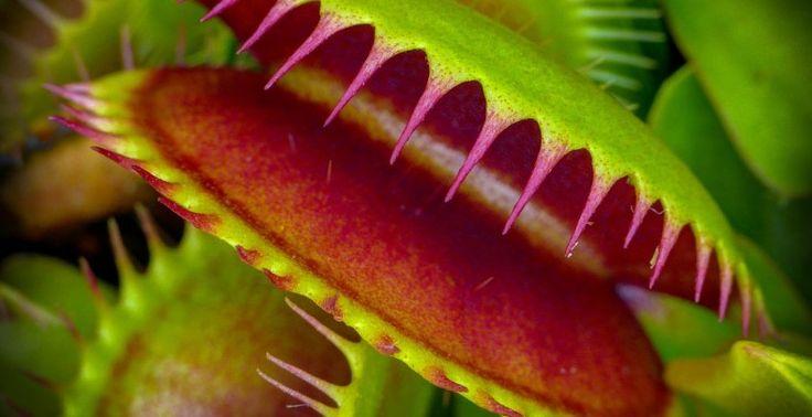 Las plantas carnívoras, como la venus atrapamoscas(Dionaea muscipula), dependen de un suministro constante de insectos para sobrevivir en suelos pobres de nutrientes. Desde hace tiempo se conoce el mecanismo por el cual atrapan a sus víctimas en el interior de sus fauces: un...