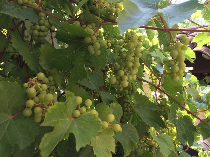 Grapes of joy 2015