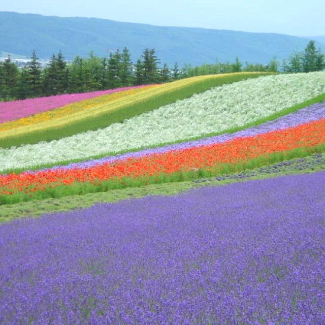 Lavender Season In Furano, Hokkaido, Japan