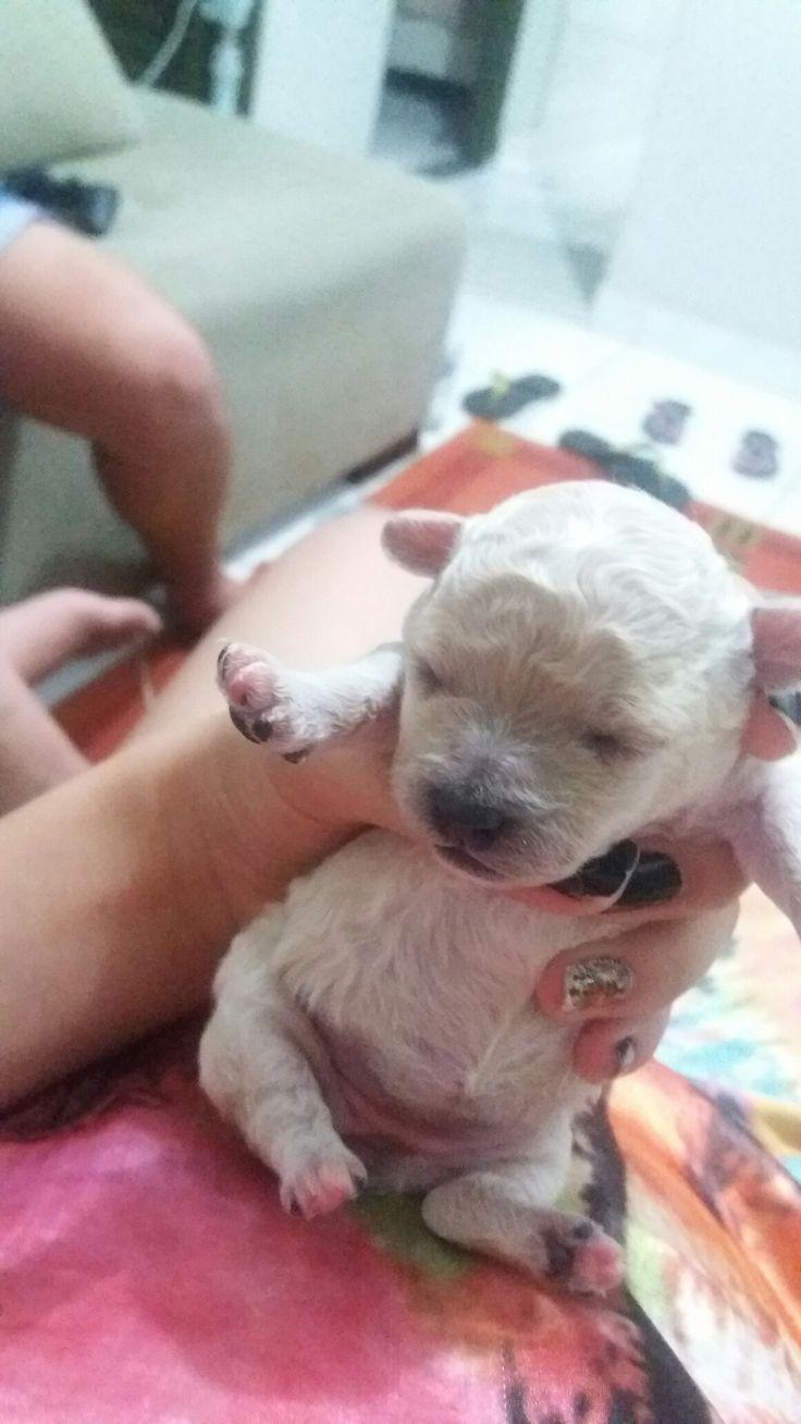 Líli filhote de cachorro, poodle toy