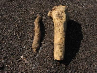 how to grow horseradish