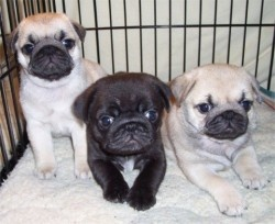 How to find a pug breeder
