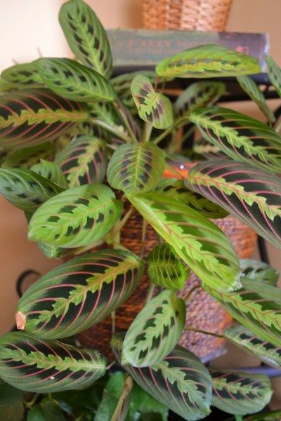 Great article with low maintenance house plants. This one is Maranta, the prayer plant.