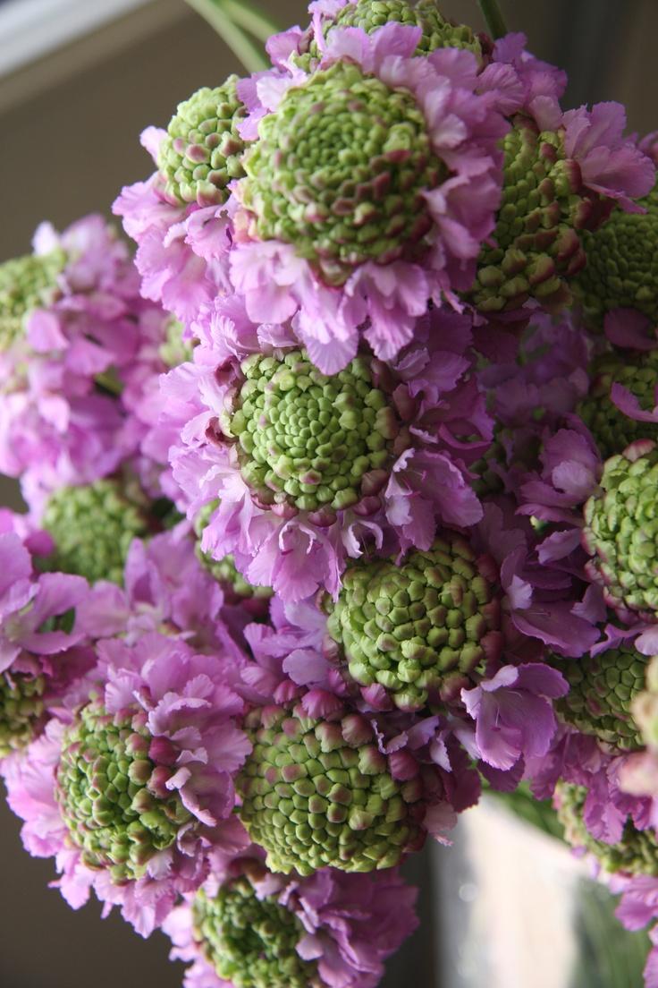 scabiosa Glamorous Lilac