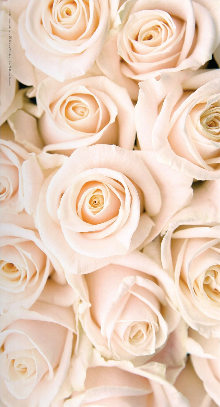 pale pink roses iPhone wallpaper