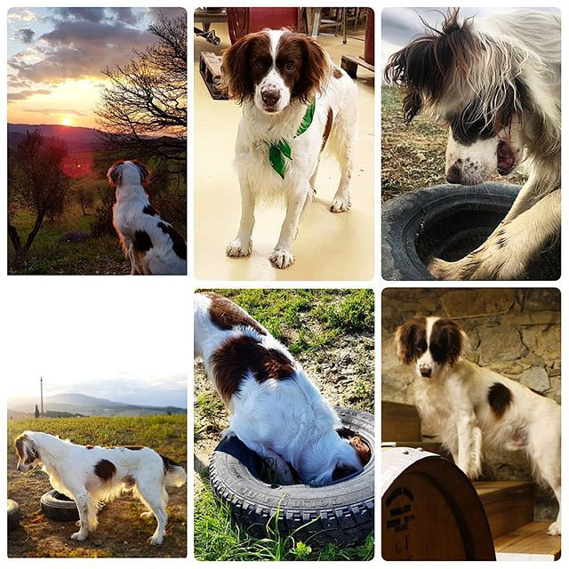 "HAPPY BIRTHDAY!  For 6 years we have been as thick as thieves I was even asked 2 days ago ""does he go everywhere with you?"" My response ""Of course he's my best mate""  Without you there would be no Jackson Seddon.  Happy birthday lad x . . . . #jacksonandseddon #wineclub #instatravel #dog #dogs #dogsofinstagram #instadog #instagood #ess #nofilter #dogcollage #dogsofwine #winedog #bestfeiends #itsadogslife #ig_dogs"