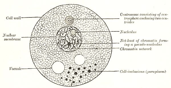 best 25  human cell diagram ideas on pinterest