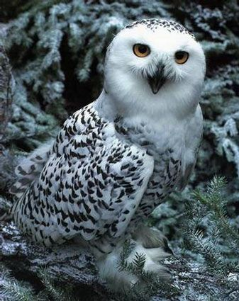 My favorite bird of prey, owls. Pictured my favorite, snowy owl.