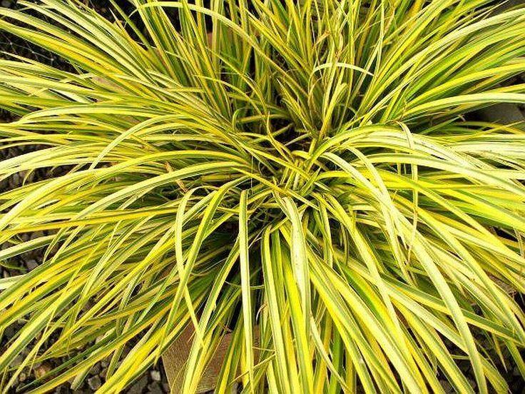 puškvorec trávolistý OGON Acorus gramineus 40cm stále vlhko