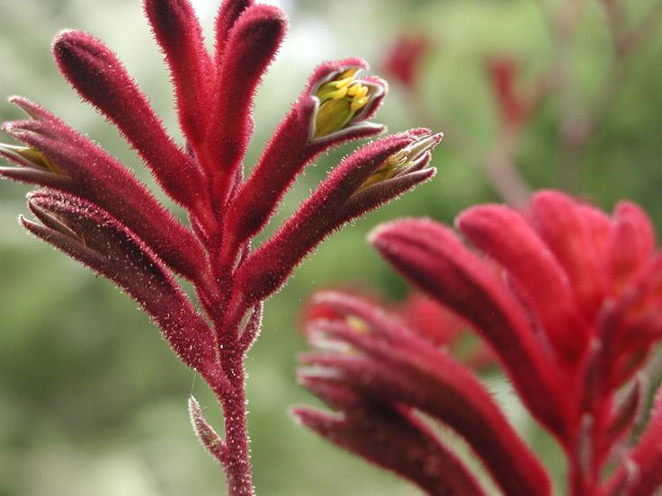 Kangaroo Paw Origin: Endemic only to the south-west of Western Australia.  Climate: Will grow in most moderate zones although requires protection from extreme heat and frost. It doesn't perform well in humid areas. Soil: Well-drained soil enriched with well-composted organic matter. Aspect: Full sun Water: Moderately drought tolerant although needs to be watered regularly during hot seasons and periods of prolonged drought.