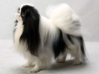 We have one of these Japanese chin regular, not mini, and she's the sweetest dog and she has a howl bark not a sharp one like our maltese.