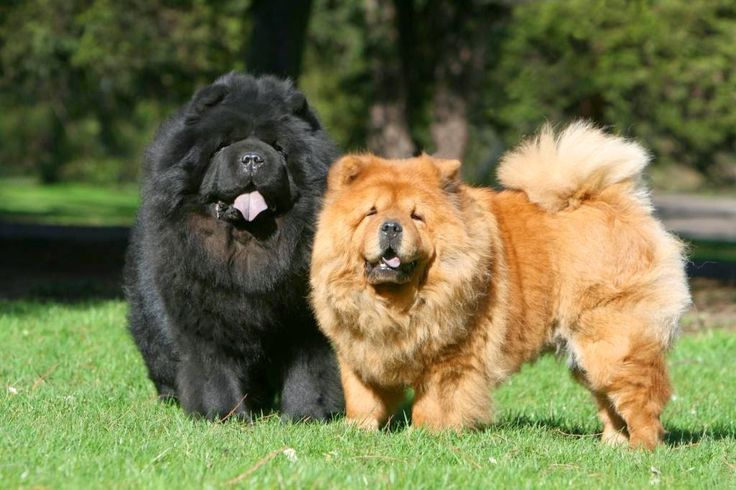 The Chow Chow has a low activity level and can live happily in any home, including an apartment or condo. One or two brief walks daily will satisfy his ...