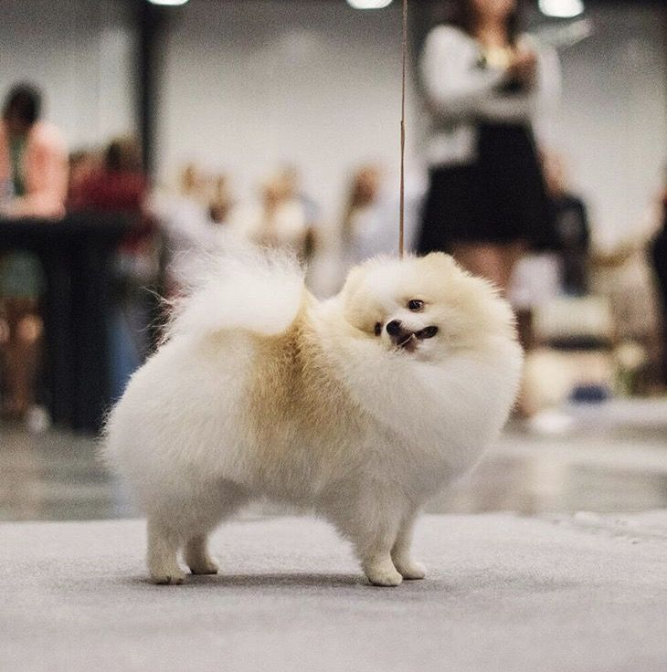 Haircuts For Pomeranians