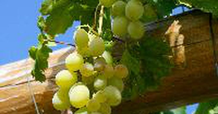 ¿Cómo se reproduce una vid?. Las uvas crecen en vides y hay dos tipos principales de uvas. Estas incluyen la uva europea y la estadounidense. La europea también es conocida como del Viejo Continente y se introdujo en México por los exploradores españoles en 1500. De la variedad estadounidense existen dos grupos principales, la uva zorro y la moscatel. Las uvas zorro crecen ...
