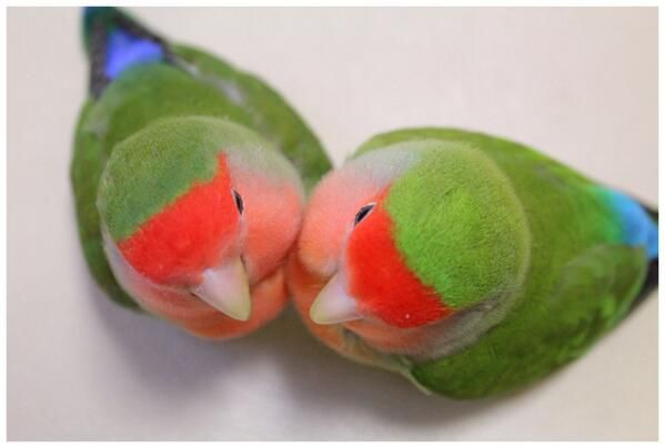 Peach-faced lovebirds by mina. It's like watermelon ball....