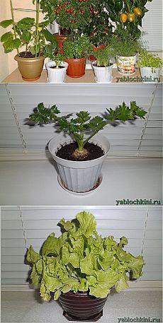 Выращиваем зелень (лук, шпинат, укроп, петрушку, салат, мелису, чабер, горчицу, базилик, майоран) круглый год в квартире на подоконнике  