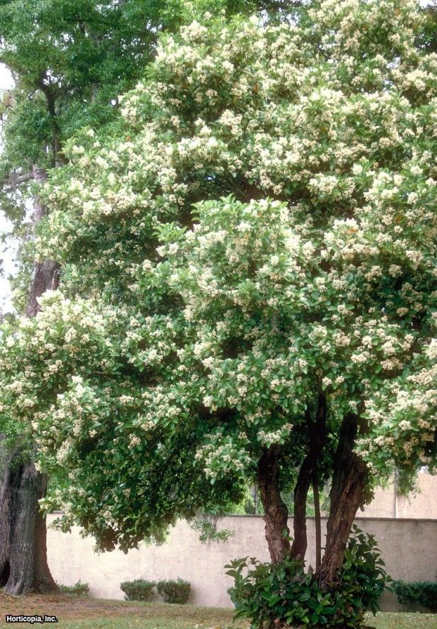 31 best fragrant plants images on pinterest garden plants patio tiny white flowers are held in great panicles in spring and are pleasingly fragrant berries are drupes that turn from red to black and are attractive to mightylinksfo Image collections