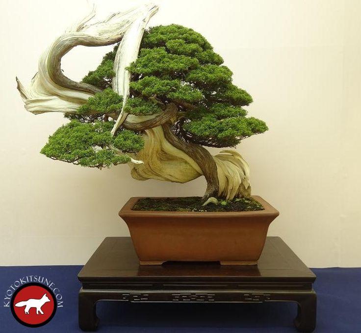 Bonsai gagnant du concours de l'exposition de Kyoto novembre 2016