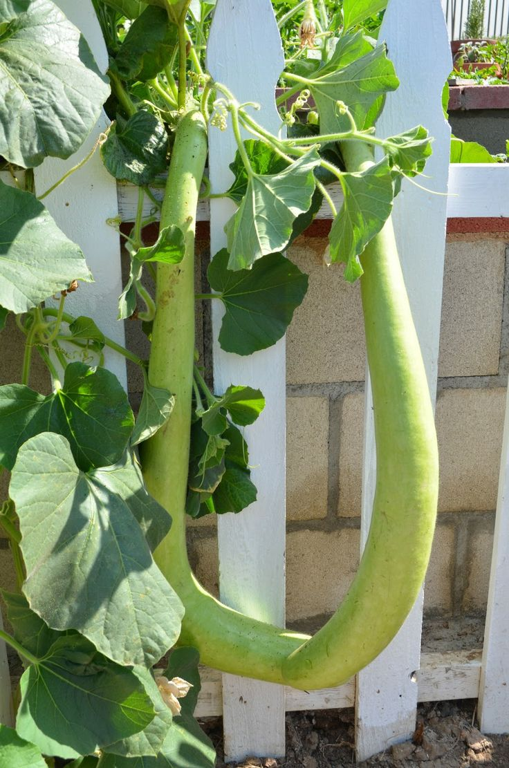 Opo squash is a variety of bottle gourd