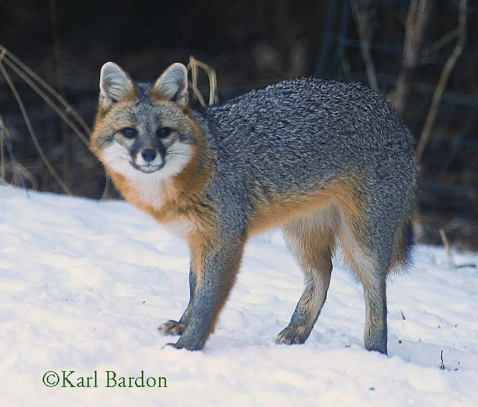 Difference Between Fox And Coyote: Canidae - Wild Members Of The Dog