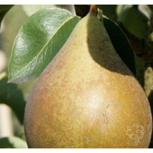 Buy a Williams Pear Tree, £49.99. You wont regret it!